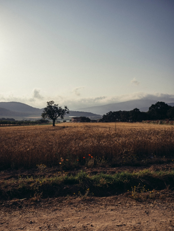 papaveri (il colore del grano), Maremma, estate 2017